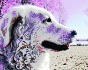 Stylish colourful dog Kuvasz poster - choose between purple and pink or blue