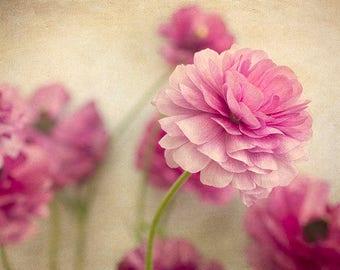 Romantic Flower Photograph, Floral Art Print, Pink Ranunculus Still Life Photo,  Floral Wall Decor, Nature Photography