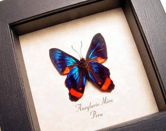 Ancyluris Mira Verso Swallowtail Real Framed Butterfly 6292V