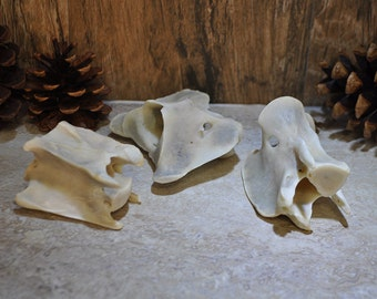 Three Real Pronghorn Antelope Vertebrae Bones