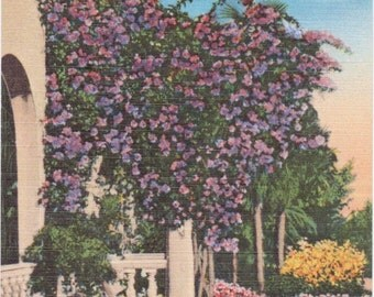 Florida, Purple Bougainvillea Arbor - Vintage Poscard - Postcard - Unused (N)