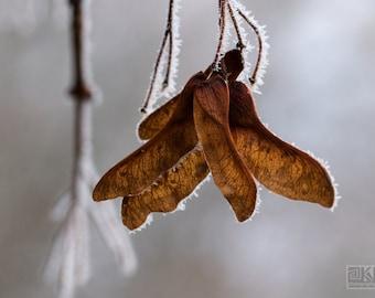 Tree seed print, Winter Wonderland, Nature photography, Jack Frost, Helicopter seed, Minimal Macro photo, Beige grey decor, Maple seedlings
