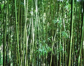 Bamboo Canvas, Bamboo Print, Bamboo Photo, Maui photo, Maui canvas, Maui print, Green Canvas, Tropical Photo