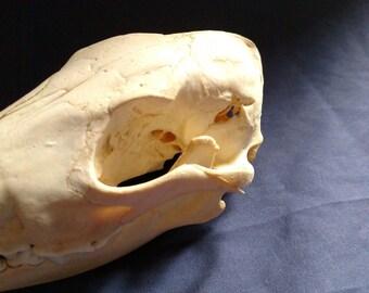 Real animal bone coyote deformed injured skull skeleton head taxidermy parts