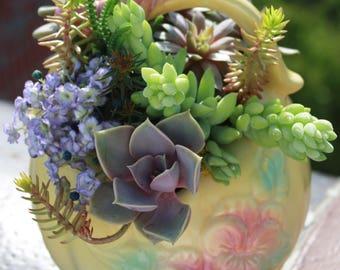 Ameera - Charming Collection of Echeveria, Graptopetalum, Burrito, Sempervivum, Crassula and Sedum Plants in Hull Basket