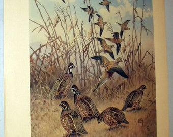 Lynn Bogue Hunt 1944 Game Birds Original Lithograph Print Mourning Dove and Bob White Large Print Field and Stream Company