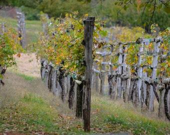Vineyards at Monticello, Virginia
