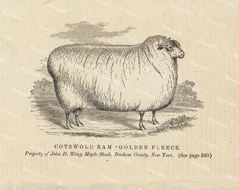 19th century original antique sheep black and white lithograph print