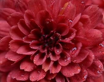 PBCHR) RUSTY ROSE Chrysanthemum~Seed!!~~~~~~~Red Lovelies!!!