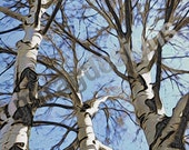 Black Birch Tree with Blue Sky Note Card