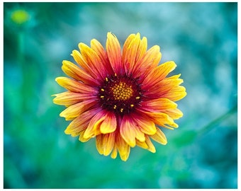 Daisy Photography | Bright Flower | Yellow, Orange, Teal, Green | Macro Photograph | Bright Happy Colors | Large Wall Art | 8 x 10 Print