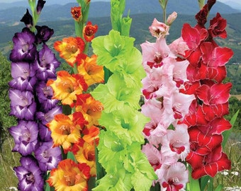 Gladiolus Bulbs - CARNIVAL MIX - Gladioli - Superb Cut Flowers - 5 Bulbs