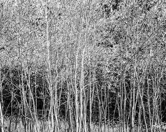 Black & White Aspens