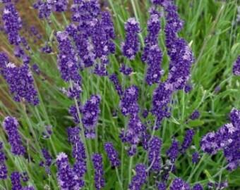 Lavender- English- (Angustifolia-Vera)- 200 seeds
