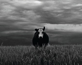 Canvas Print: Cow