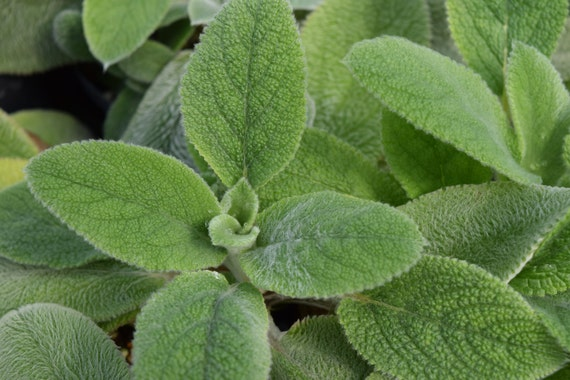 Woolly Lamb S Ear Live Herb Plant