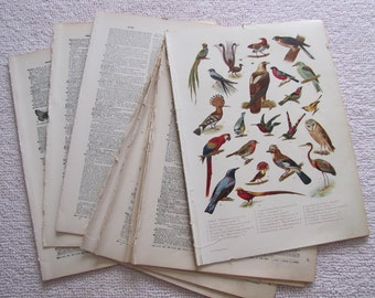 85 Antique 1912 Funk and Wagnalls Dictionary Pages for Crafting Art Prints - Birds