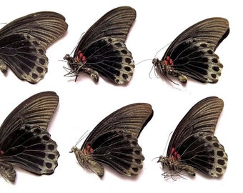 Wholesale 6 x Papilio Memnon Males - Taxidermy - Unmounted - Ready To Rehydrate - Artwork