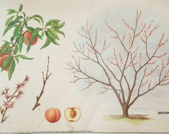 Vintage Poster - Botanical Poster - Vintage Czech - Botanical Wall Art - Peach Decor - Tree Decor - Botanical Decor - Botanical Print
