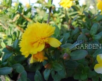 Fairy Tales Sleeping Beauty Purslane – Yellow Double Flower Portulaca