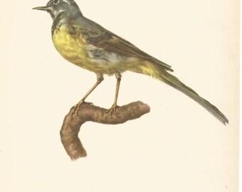 1950 bird print yellow wagtail  ornithological bookplate print by e dermartina  vintage bird wall decor