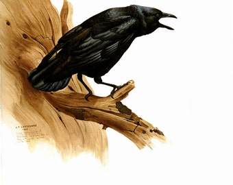The Common Crow painted by J F Landsdowne for the book Birds of the Eastern Forest: 2 The Page is 9 1/2 inches wide and 13 inches tall.