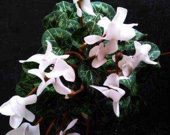 """Live White Cyclamen House Plant Growing in a 4"""" Pot In Bloom"""