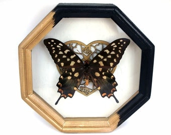 Butterfly framed / Pharmacophagus antenor Madagascar giant swallowtail taxidermy art home decor moth entomology frame display wall hanging