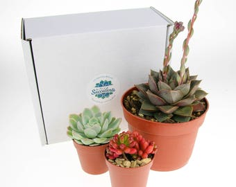3 x Mixed Size Succulent Plant Selection | Succulent Plants for Terrariums | Indoor Succulent Plants | Plants in Gift Box