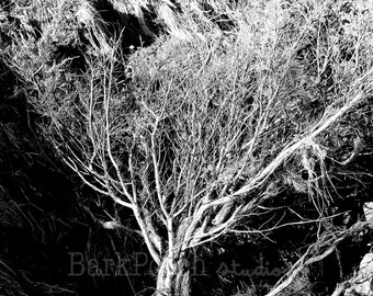 Black and white tree; roots; tree of life; Beavertail Lighthouse, Jamestown, Rhode Island; New England; nature; uprooted; fine art