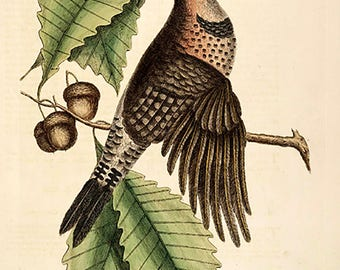 Gold Winged Woodpecker and Acorns - Mark Catesby ~  1740 ~ Wildlife lithograph print ~ Natural History of Carolina - Bird Wall Art