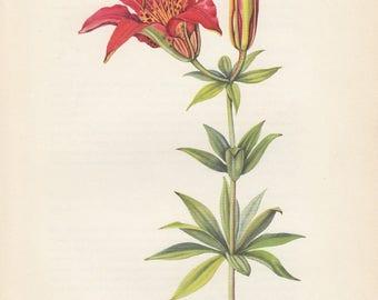 Wood Lily Wild Flower Vintage Botanical Art Print 1954 Edith Farmington Johnston