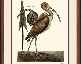 BROWN CURLEW - Vintage Catesby bird print reproduction 7045