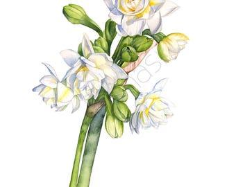 Jonquils print of watercolor painting, A4 size, J21017, Jonquils watercolour painting print, floral watercolor print, botanical print