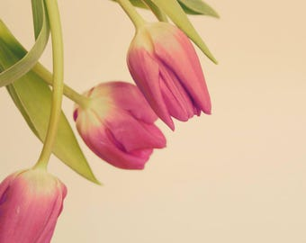 Flower Photography, Pink Tulips, Flower Photo, Fine Art Print, Pink Flower, Floral Photography, Close Up, Studio Photography