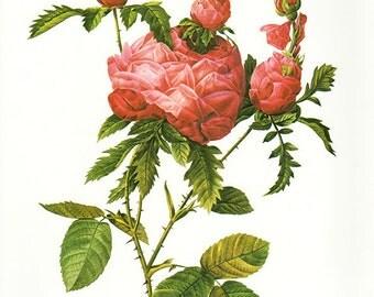 Steeple French Rose art print vintage antique wall art pink flower art print Victorian art print antique rose art rose print prints 98