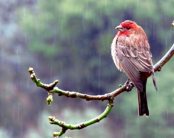 House Finch by Catherine Roché, California Wildlife Photography, Bird Photography, House Finch Photography, Rain Photography, Fine Art