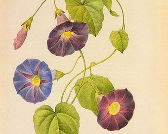 INSTANT DIGITIAL Download French Redoute Morning Glory Chart Antique image botanical vintage high resolution illustration art to print