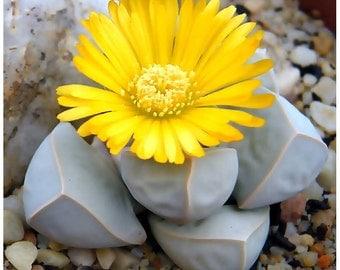 CS) KAROO ROSE Succulent~Seeds!!!~~~~~~~~~~Lapidara margarethae!