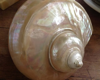 rapana Rapiformis shell