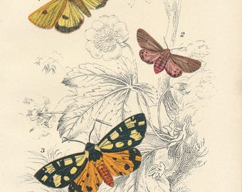 1897 Colorful Moths Antique Print