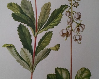 Pipsissewa and round leaved Wintergreen antique botanical litho print, 1954