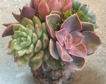 Succulent Arrangement in Rustic Tree Trunk Vase