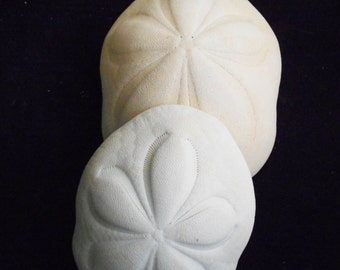"Set of 3 Giant White Sea Biscuits 4-5"" Shell Sand Dollar Beach Wedding Craft Decor"
