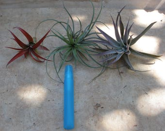 Medium Tillandsia Set, Air plant, Mothers Day, Fathers Day, gifts, unique, succulent, cacti, housewarming, office gift
