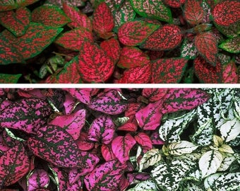 Polka Dot Plants - 3 pack - One of each color in 2'' Pots - Hypoestes Phyllostachya