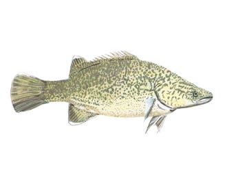 Murray Cod: Fish Series  - Limited Edition Digital Print on A4 fine art paper