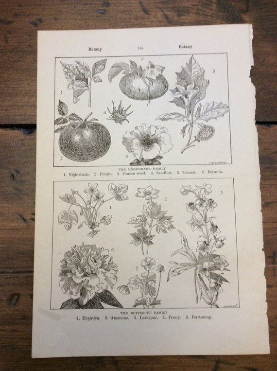 Antique Print - Botanical, Buttercup Family - Book Page