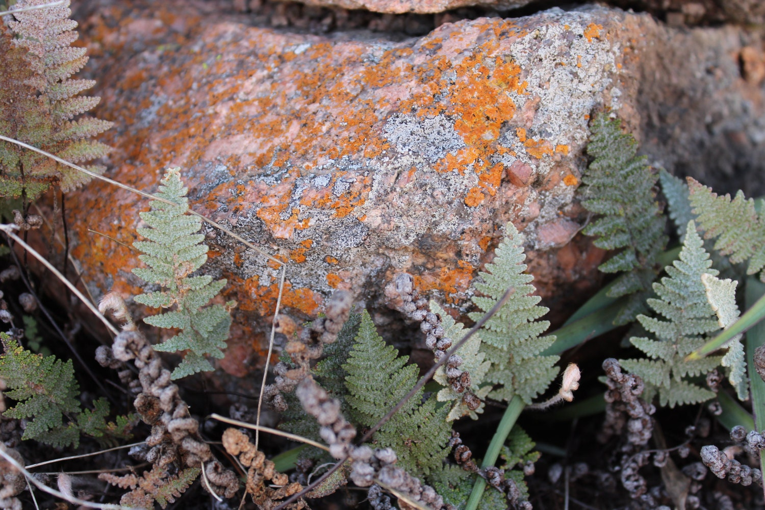 Orange Lichen and Ferns