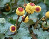 Toothache Plant Seeds/Spilanthes Oleracea/Perennial  100+